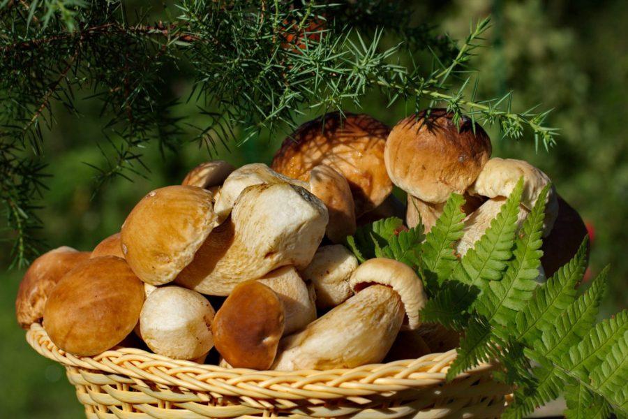 gdzie na grzyby - koszyk pełen borowików