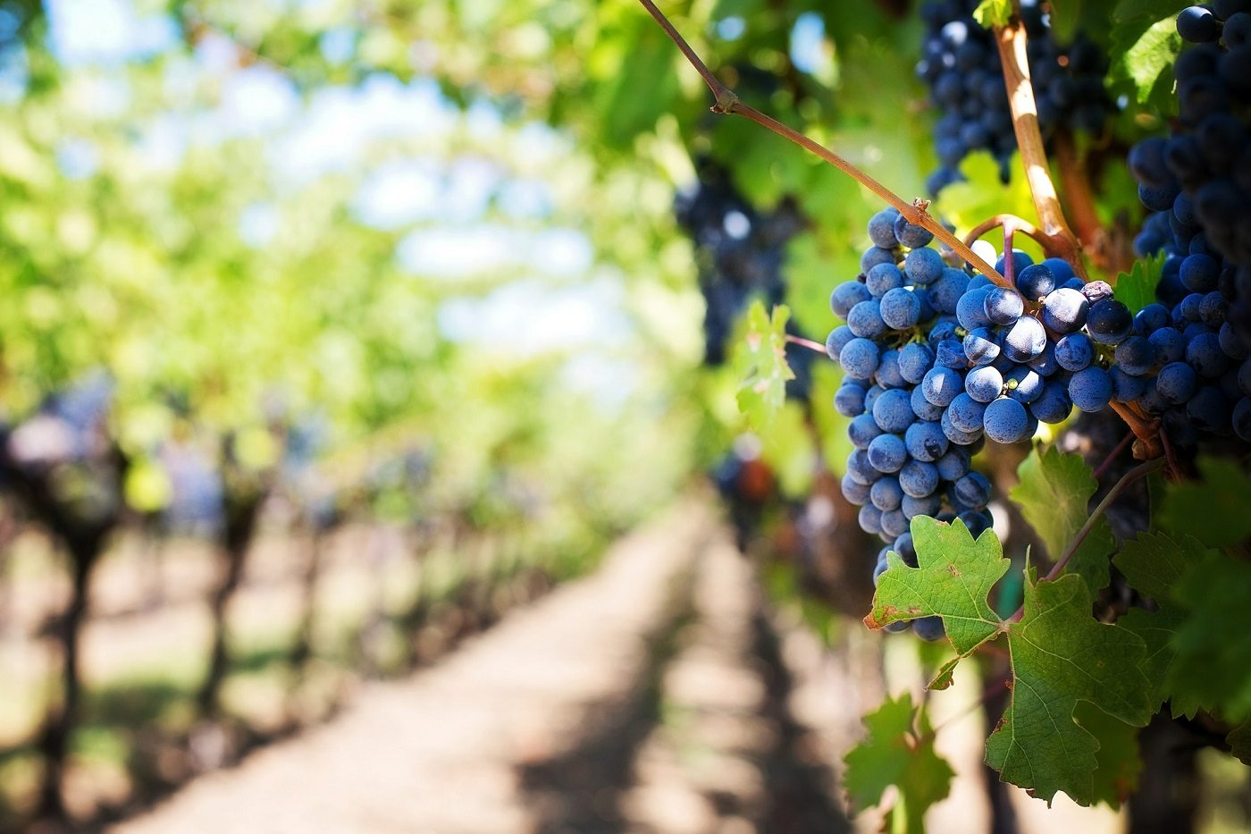 winogrono na tle winnicy lato słońce