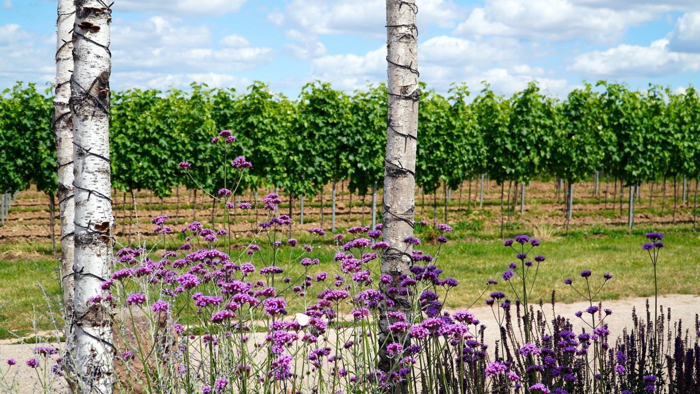 pień brzozy i fioletowe kwiaty na tle winnicy