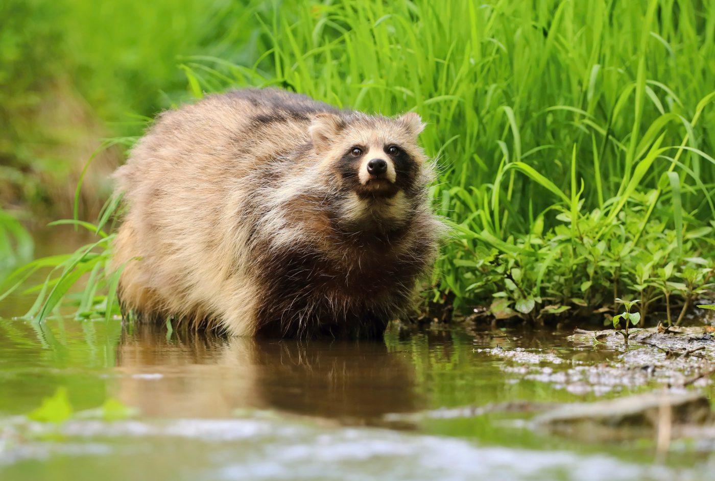Dzikie zwierzęta w Polsce – jenoty, szopy, borsuki…