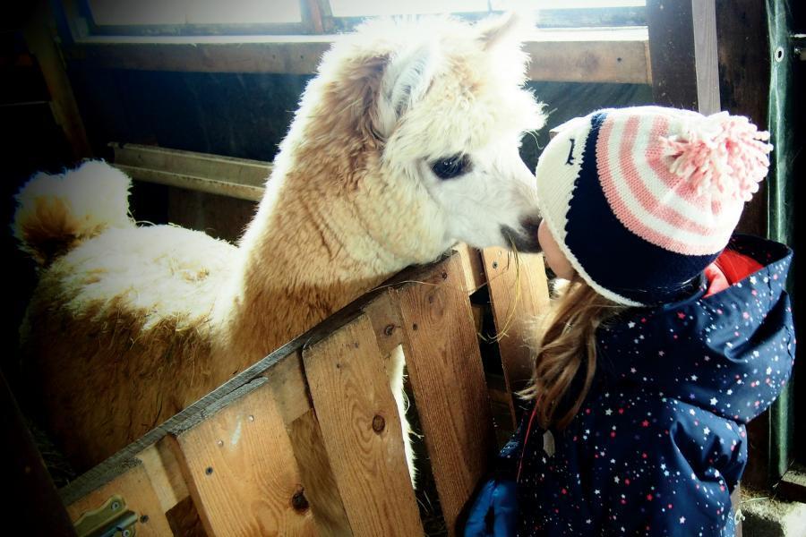 dziewczynka w alpakarium daje alpace buziaka