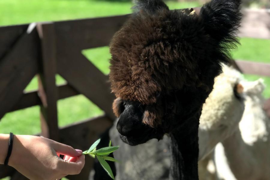 karmiona czarna alpaka w alpakarium