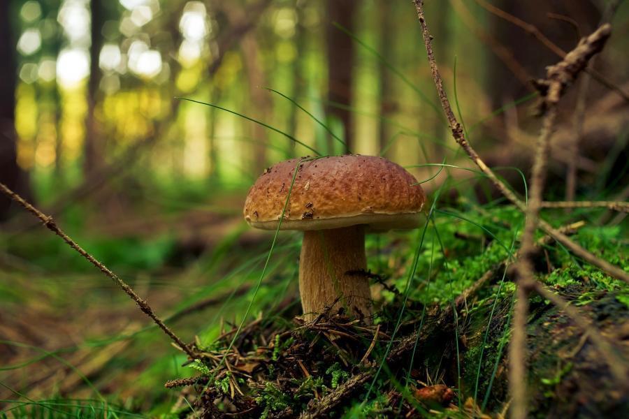grzyb prawdziwek w lesie