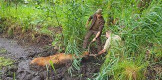ratowanie jelenia z bagna